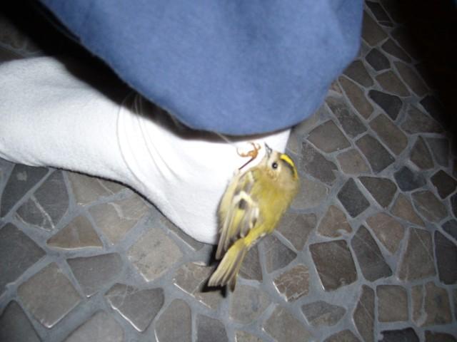 Den lilla kungsfågeln