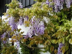 Blåregn (Wisteria sinensis)
