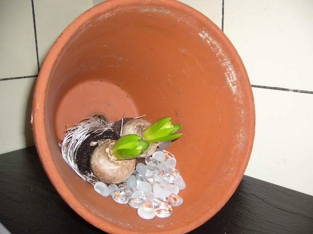 Hyacinter i lerkruka