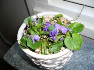 Arrangemang med violer