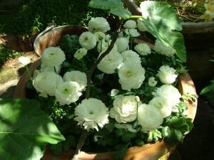 Ranunkel (Ranunculus hybrid)