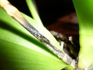 Närbild på orkidé