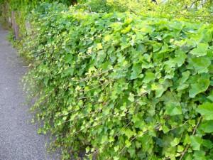Slingrande murgröna