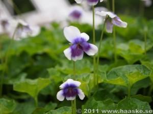 Viola hederacea - australisk viol