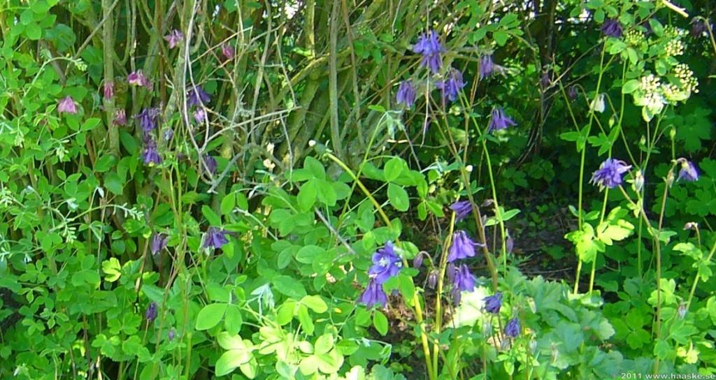 Blommor för den lite 'vilda trädgården'